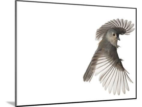 A tufted titmouse, from a deciduous forest, in flight.-David Liittschwager-Mounted Photographic Print
