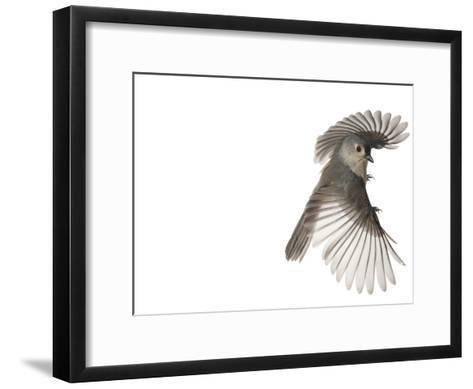 A tufted titmouse, from a deciduous forest, in flight.-David Liittschwager-Framed Art Print