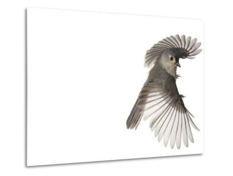 A tufted titmouse, from a deciduous forest, in flight.-David Liittschwager-Metal Print