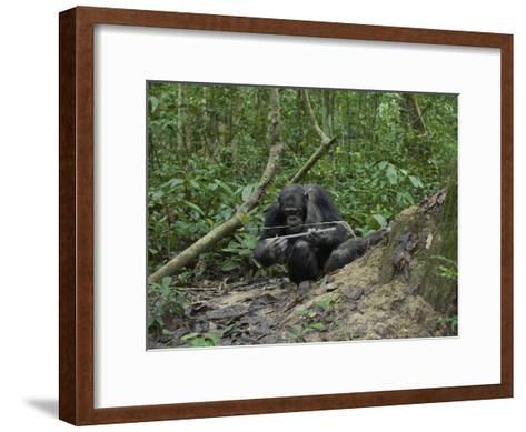 A Chimp at a Termite Mound Fishing with a Probe and Puncturing Stick-Ian Nichols-Framed Art Print