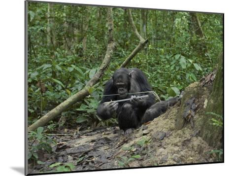 A Chimp at a Termite Mound Fishing with a Probe and Puncturing Stick-Ian Nichols-Mounted Photographic Print