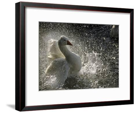 A Duck Splashes in the Water of Lake Banyoles-Tino Soriano-Framed Art Print
