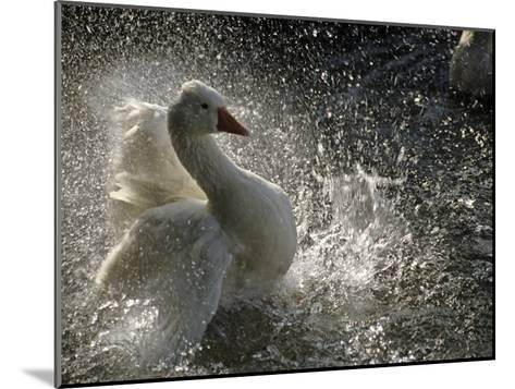 A Duck Splashes in the Water of Lake Banyoles-Tino Soriano-Mounted Photographic Print