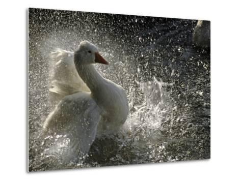 A Duck Splashes in the Water of Lake Banyoles-Tino Soriano-Metal Print