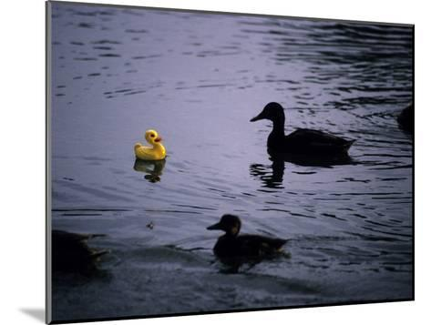 Ducks Approach a Toy Duck Swimming on Lake Banyoles-Tino Soriano-Mounted Photographic Print