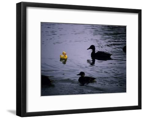 Ducks Approach a Toy Duck Swimming on Lake Banyoles-Tino Soriano-Framed Art Print