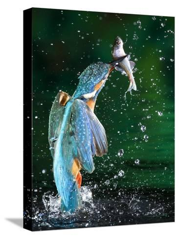 Adult Male Common Kingfisher, Alcedo Atthis, with an Amur Bitterling-Joe Petersburger-Stretched Canvas Print