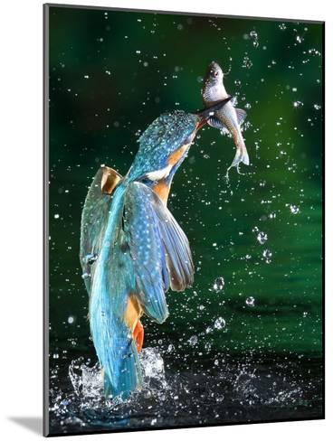 Adult Male Common Kingfisher, Alcedo Atthis, with an Amur Bitterling-Joe Petersburger-Mounted Photographic Print