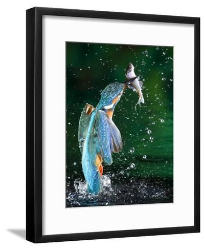 Adult Male Common Kingfisher, Alcedo Atthis, with an Amur Bitterling-Joe Petersburger-Framed Art Print