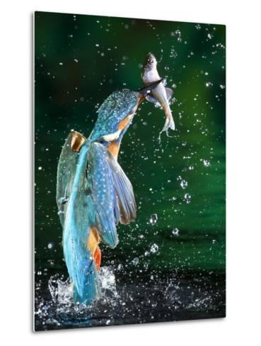 Adult Male Common Kingfisher, Alcedo Atthis, with an Amur Bitterling-Joe Petersburger-Metal Print