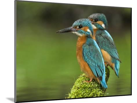 Adult Common Kingfisher Couple, Alcedo Atthis, on a Mossy Branch-Joe Petersburger-Mounted Photographic Print