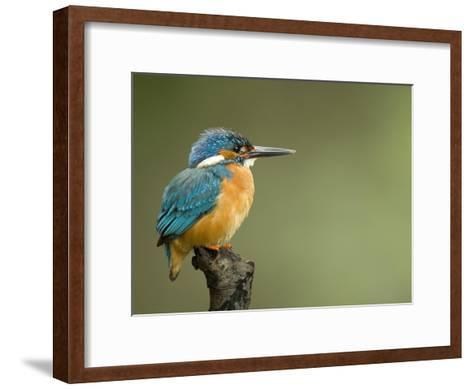 An Adult Male Common Kingfisher, Alcedo Atthis, Perches on a Branch-Joe Petersburger-Framed Art Print