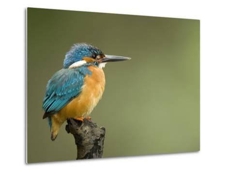 An Adult Male Common Kingfisher, Alcedo Atthis, Perches on a Branch-Joe Petersburger-Metal Print