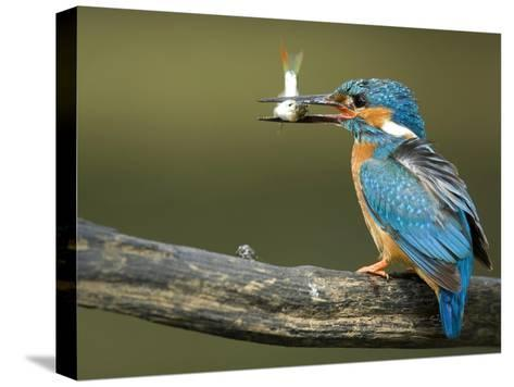 Adult Male Common Kingfisher, Alcedo Atthis, Perches Holding a Fish-Joe Petersburger-Stretched Canvas Print