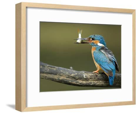 Adult Male Common Kingfisher, Alcedo Atthis, Perches Holding a Fish-Joe Petersburger-Framed Art Print