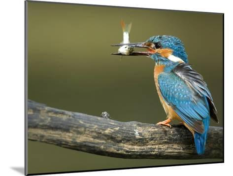 Adult Male Common Kingfisher, Alcedo Atthis, Perches Holding a Fish-Joe Petersburger-Mounted Photographic Print