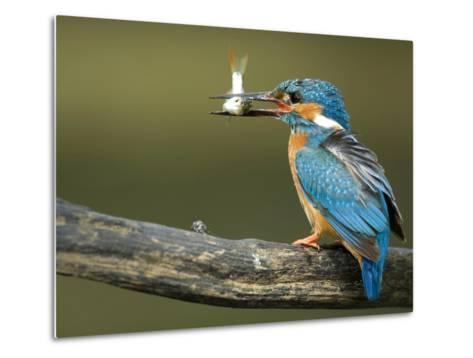 Adult Male Common Kingfisher, Alcedo Atthis, Perches Holding a Fish-Joe Petersburger-Metal Print