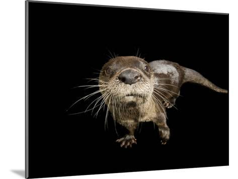 River Otter, Lontra Canadensis-Joel Sartore-Mounted Photographic Print