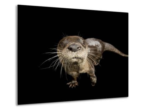 River Otter, Lontra Canadensis-Joel Sartore-Metal Print