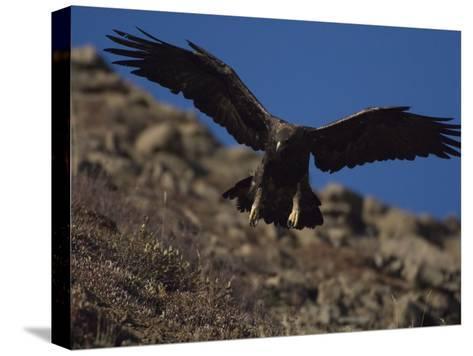 Adult Golden Eagle (Aquia Chrysaetos) , Alaska-Michael S^ Quinton-Stretched Canvas Print