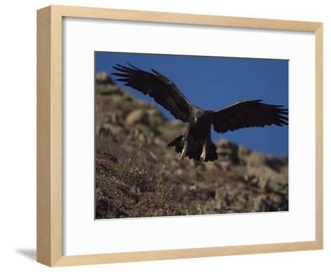 Adult Golden Eagle (Aquia Chrysaetos) , Alaska-Michael S^ Quinton-Framed Art Print