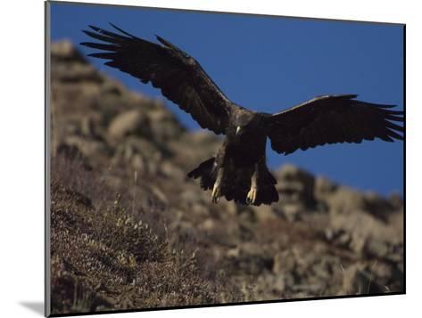 Adult Golden Eagle (Aquia Chrysaetos) , Alaska-Michael S^ Quinton-Mounted Photographic Print