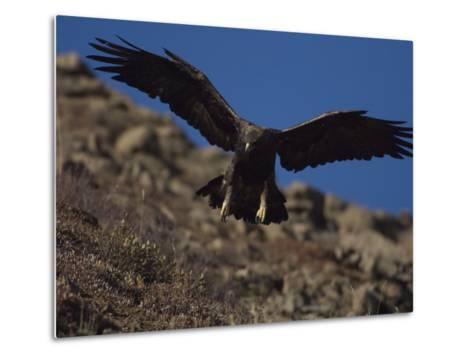Adult Golden Eagle (Aquia Chrysaetos) , Alaska-Michael S^ Quinton-Metal Print