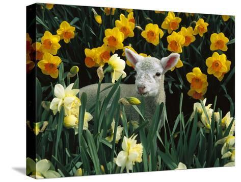 Domestic Sheep (Ovis Aries) Lamb Among Spring Daffodils (Narcissus Sp) Canterbury, New Zealand-Colin Monteath/Minden Pictures-Stretched Canvas Print
