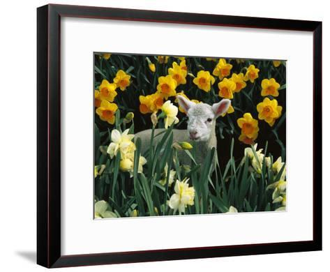Domestic Sheep (Ovis Aries) Lamb Among Spring Daffodils (Narcissus Sp) Canterbury, New Zealand-Colin Monteath/Minden Pictures-Framed Art Print