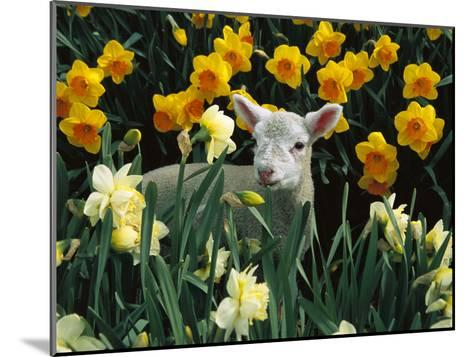 Domestic Sheep (Ovis Aries) Lamb Among Spring Daffodils (Narcissus Sp) Canterbury, New Zealand-Colin Monteath/Minden Pictures-Mounted Photographic Print