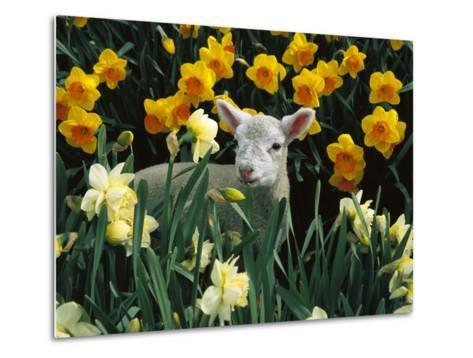 Domestic Sheep (Ovis Aries) Lamb Among Spring Daffodils (Narcissus Sp) Canterbury, New Zealand-Colin Monteath/Minden Pictures-Metal Print