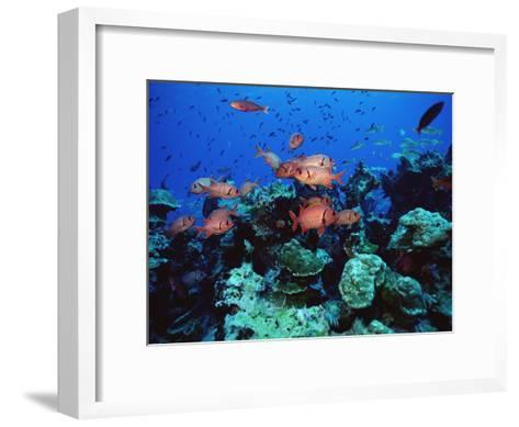 Squirrel Fish (Holocentrus Sp) Schooling at Reef, Cocos Island, Costa Rica-Flip Nicklin/Minden Pictures-Framed Art Print