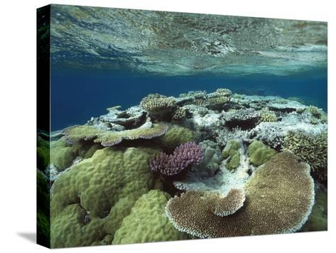 Great Barrier Reef Near Port Douglas, Queensland, Australia-Flip Nicklin/Minden Pictures-Stretched Canvas Print