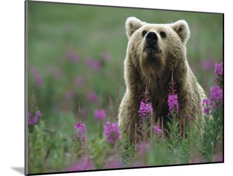 Brown or Grizzly Bear (UrsusArctos) and Fireweed (ChamerionAngustifolium), Katmai Nat'lPark, Alaska-Matthias Breiter/Minden Pictures-Mounted Photographic Print