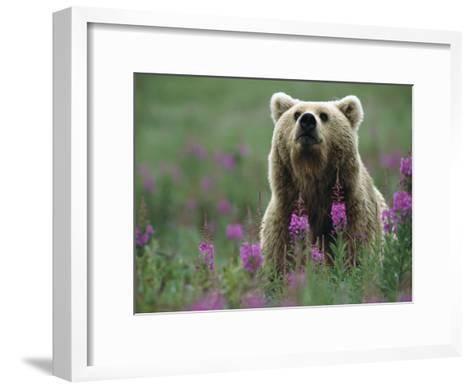 Brown or Grizzly Bear (UrsusArctos) and Fireweed (ChamerionAngustifolium), Katmai Nat'lPark, Alaska-Matthias Breiter/Minden Pictures-Framed Art Print