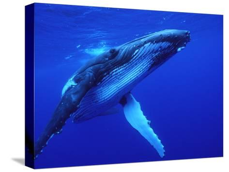 Humpback Whale (Megaptera Novaeangliae) Swimming, Underwater, Tonga-Mike Parry/Minden Pictures-Stretched Canvas Print