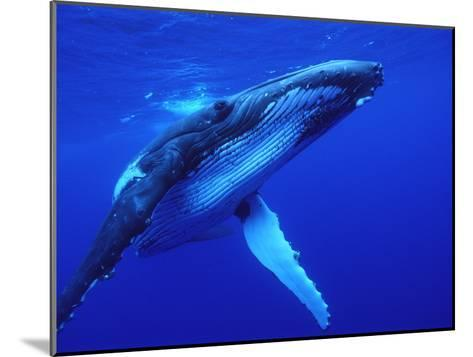 Humpback Whale (Megaptera Novaeangliae) Swimming, Underwater, Tonga-Mike Parry/Minden Pictures-Mounted Photographic Print