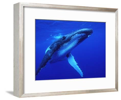 Humpback Whale (Megaptera Novaeangliae) Swimming, Underwater, Tonga-Mike Parry/Minden Pictures-Framed Art Print