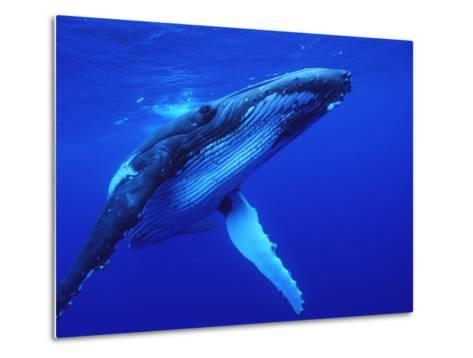 Humpback Whale (Megaptera Novaeangliae) Swimming, Underwater, Tonga-Mike Parry/Minden Pictures-Metal Print