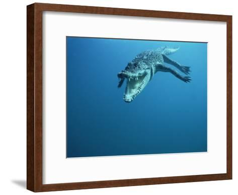 Saltwater Crocodile or Estuarine Crocodile (Crocodylus Porosus) Swimming, Oro Bay, Papua New Guinea-Mike Parry/Minden Pictures-Framed Art Print