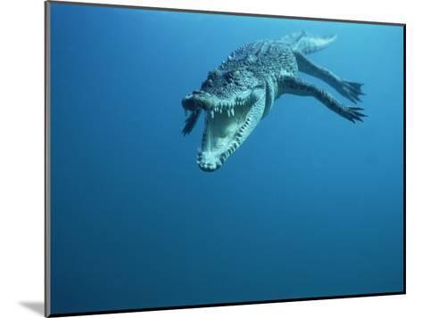 Saltwater Crocodile or Estuarine Crocodile (Crocodylus Porosus) Swimming, Oro Bay, Papua New Guinea-Mike Parry/Minden Pictures-Mounted Photographic Print