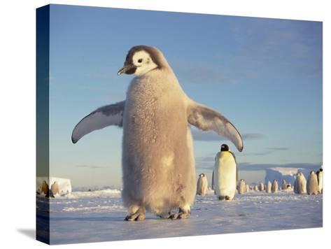 Emperor Penguin (Aptenodytes Forsteri), Austral Spring, No-Name Rookery, Weddell Sea, Antarctica-Tui De Roy/Minden Pictures-Stretched Canvas Print