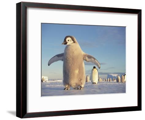 Emperor Penguin (Aptenodytes Forsteri), Austral Spring, No-Name Rookery, Weddell Sea, Antarctica-Tui De Roy/Minden Pictures-Framed Art Print