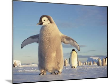 Emperor Penguin (Aptenodytes Forsteri), Austral Spring, No-Name Rookery, Weddell Sea, Antarctica-Tui De Roy/Minden Pictures-Mounted Photographic Print