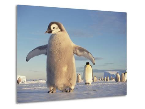 Emperor Penguin (Aptenodytes Forsteri), Austral Spring, No-Name Rookery, Weddell Sea, Antarctica-Tui De Roy/Minden Pictures-Metal Print