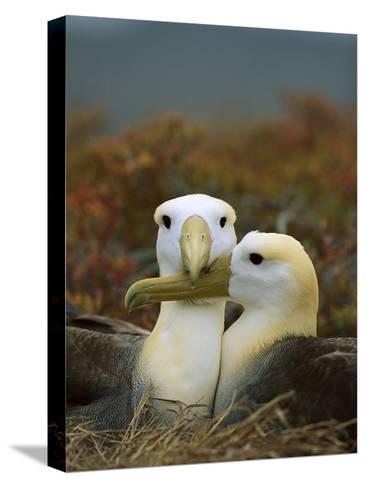 Waved Albatross (Diomedea Irrorata), Punta Cevallos, Espanola Island, Galapagos Islands, Ecuador-Tui De Roy/Minden Pictures-Stretched Canvas Print