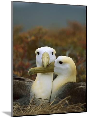Waved Albatross (Diomedea Irrorata), Punta Cevallos, Espanola Island, Galapagos Islands, Ecuador-Tui De Roy/Minden Pictures-Mounted Photographic Print