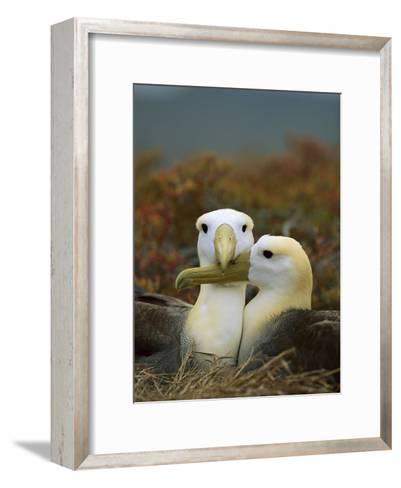 Waved Albatross (Diomedea Irrorata), Punta Cevallos, Espanola Island, Galapagos Islands, Ecuador-Tui De Roy/Minden Pictures-Framed Art Print