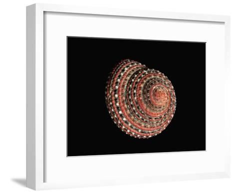 Strawberry Top Shell (Clanculus Pharaonius) Native to the Red Sea-Albert Lleal/Minden Pictures-Framed Art Print