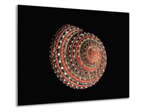 Strawberry Top Shell (Clanculus Pharaonius) Native to the Red Sea-Albert Lleal/Minden Pictures-Metal Print
